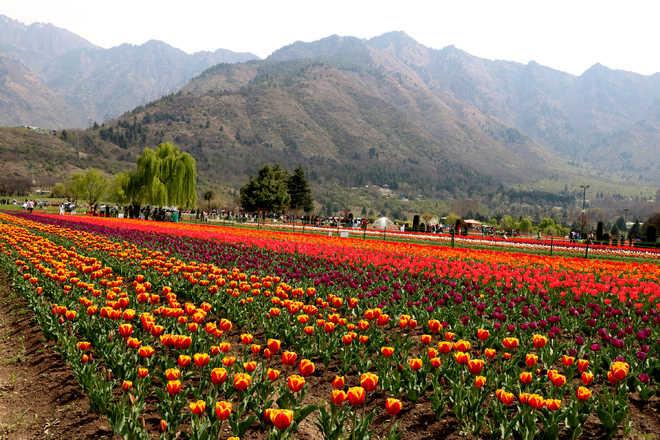 Tulip Festival begins in Srinagar