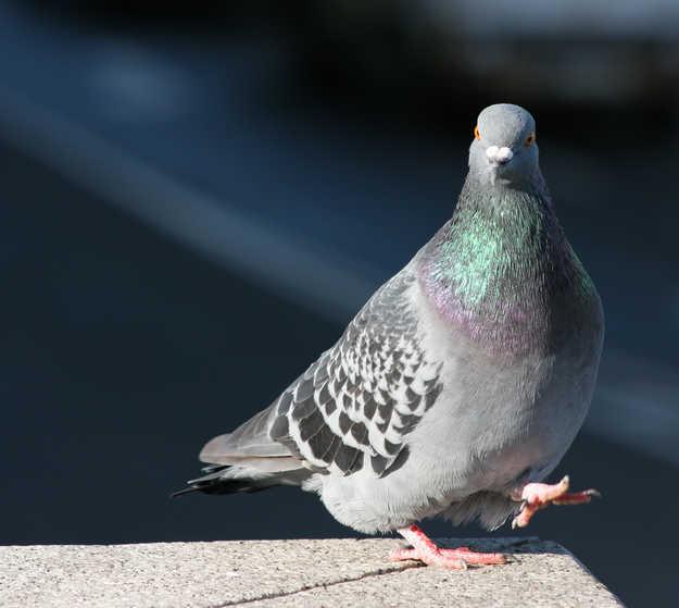 BSF demands FIR against Pakistani pigeon