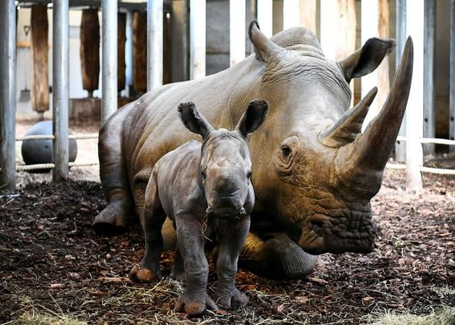 Baby rhinoceros born in Dutch zoo on Easter Sunday