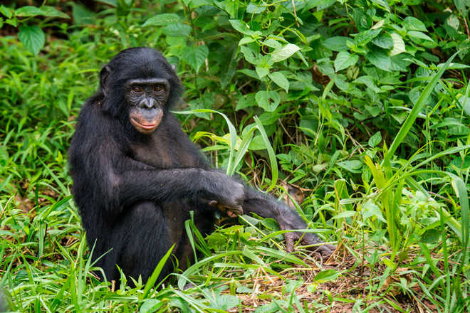 How 'chimpanzee poop' is helping prevent Covid-19
