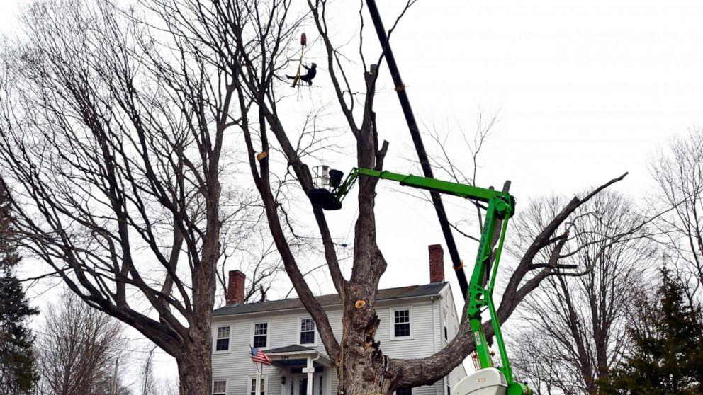 One of country's largest sugar maples removed for safety