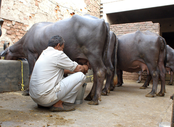 In a first, milch cattle yield to be insured