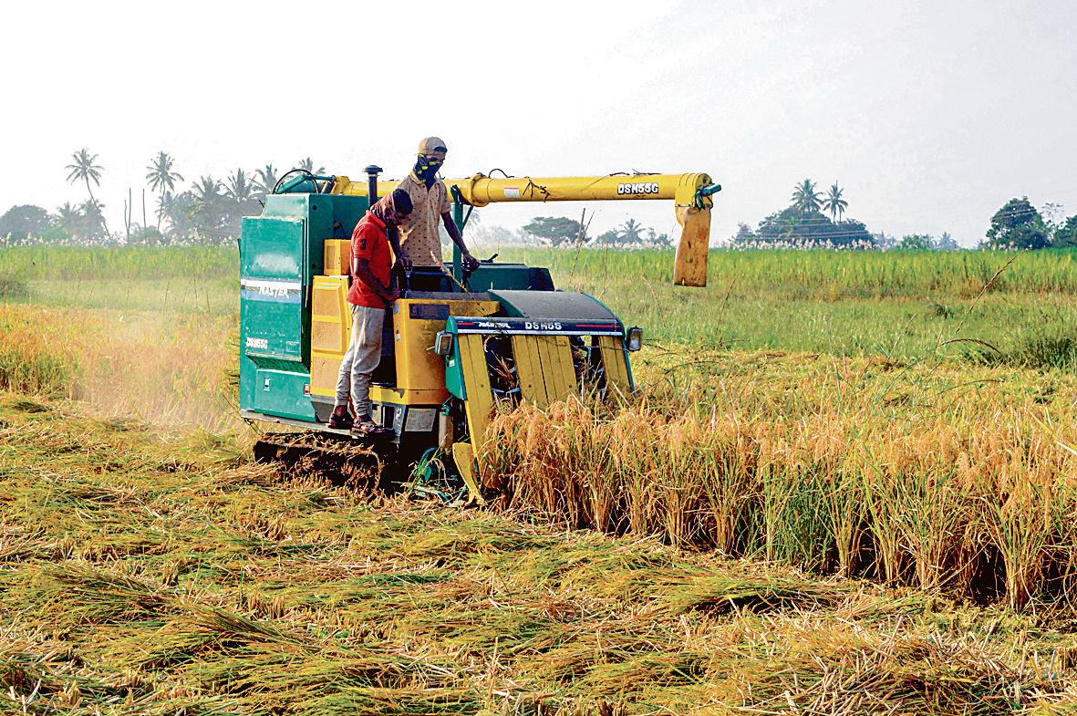 Farmers forced to go for early harvesting, blame it on rains