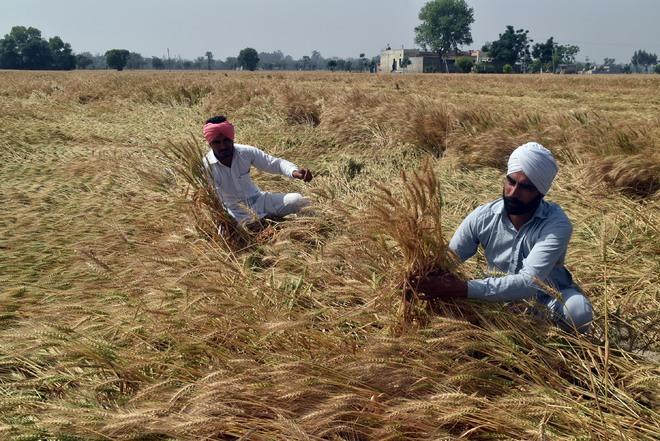 Crop wet, harvest yet to gather steam in Malwa