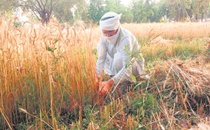 Son of farmer, Deputy Commissioner wields sickle, harvests wheat in Sangrur