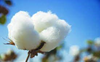 Malwa belt farmers miffed as Centre hikes Bt cotton seed price