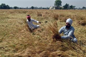 Crop wet, harvest yet to gather steam in Malwa