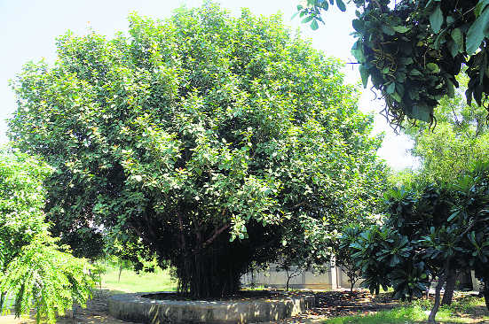 UP to bring out coffee table book on heritage trees