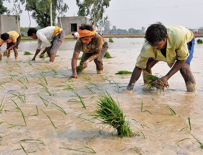 Labour shortage troubles paddy growers