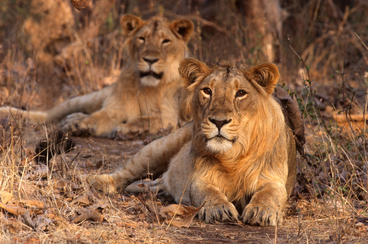 Eight Asiatic lions at Hyderabad Zoo test positive for Covid