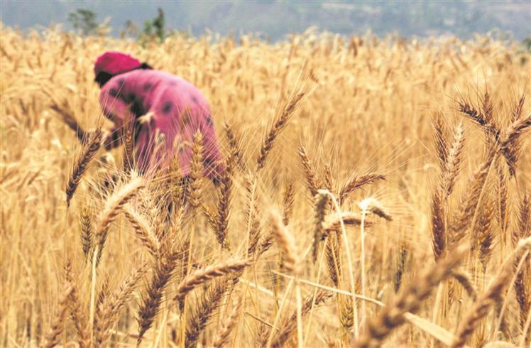 70 per cent more wheat procured compared the corresponding period last year: Centre