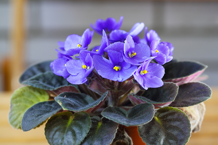 IISER Bhopal scientists discover new species of African Violet plant from Mizoram
