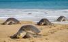 1.48 crore Olive Ridley turtles born in Odisha's Gahirmatha beach