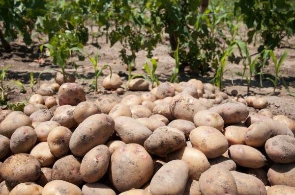 No buyers amid lockdown, potato growers hit hard