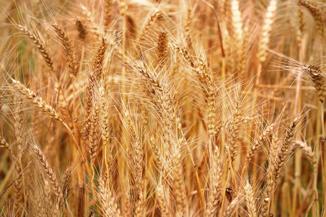 4.38 lakh MT wheat purchased in Amritsar