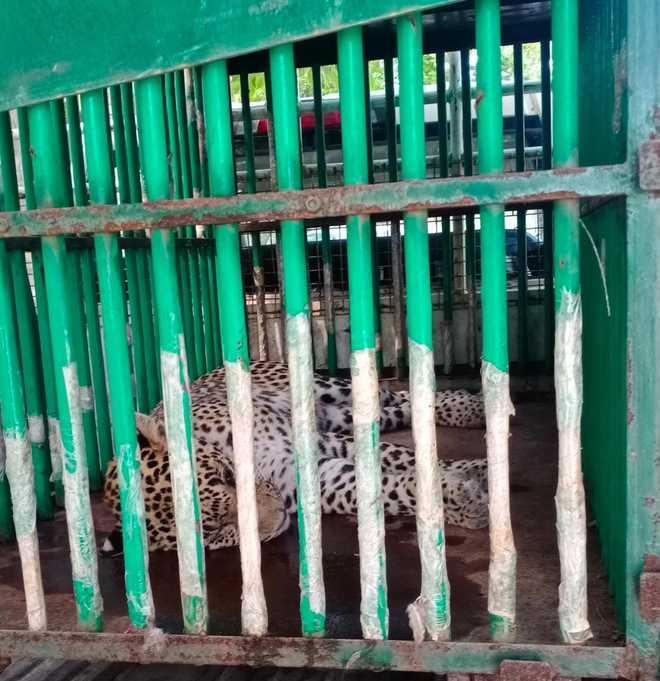 Leopard captured in Jhajjar village