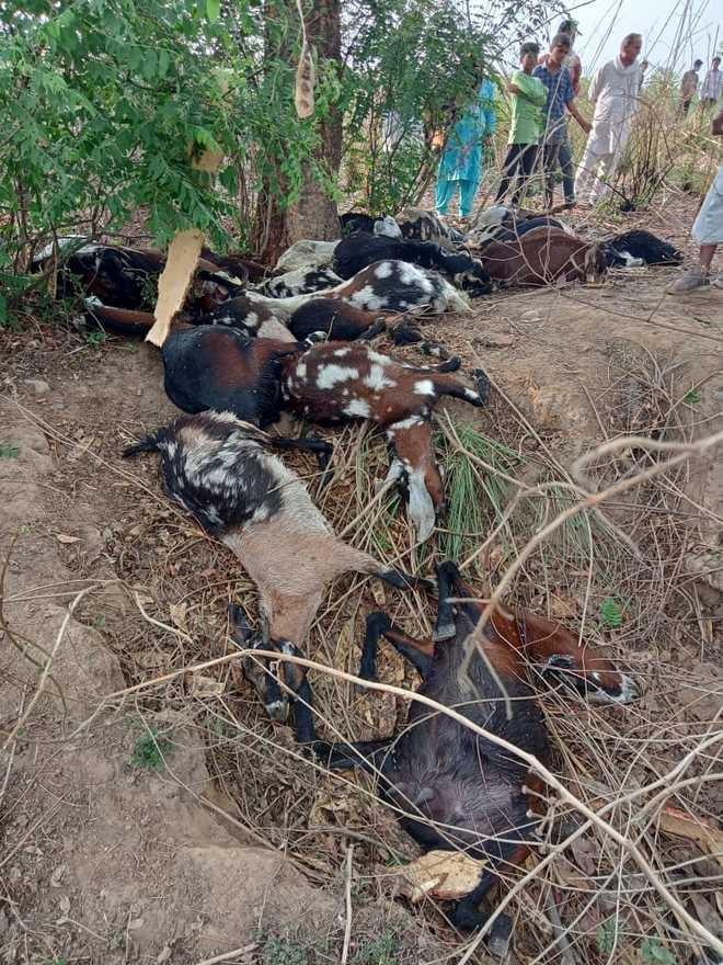 Lightning kills 22 goats in Yamunanagar