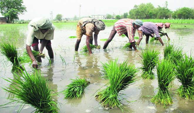 Prefer root-dip treatment for disease-free rice crop: Experts