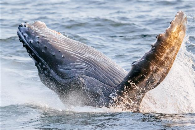 Humpback whale completely gulps and spits lobsterman out alive after 30 seconds; survivor shares his story