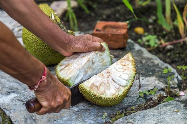 Green jackfruit flour helps control Type 2 diabetes: Study