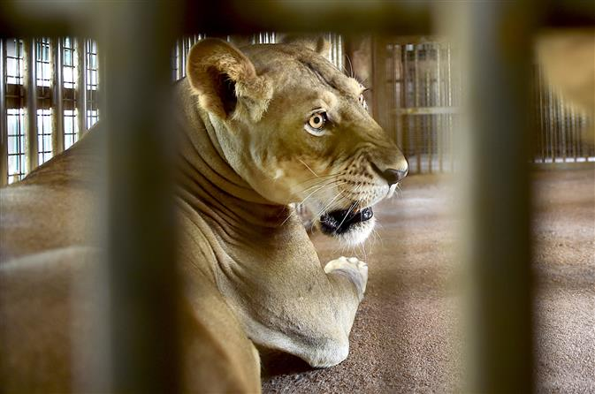 Three lions recovering slowly, efforts on to help them recuperate from Covid: Zoo official