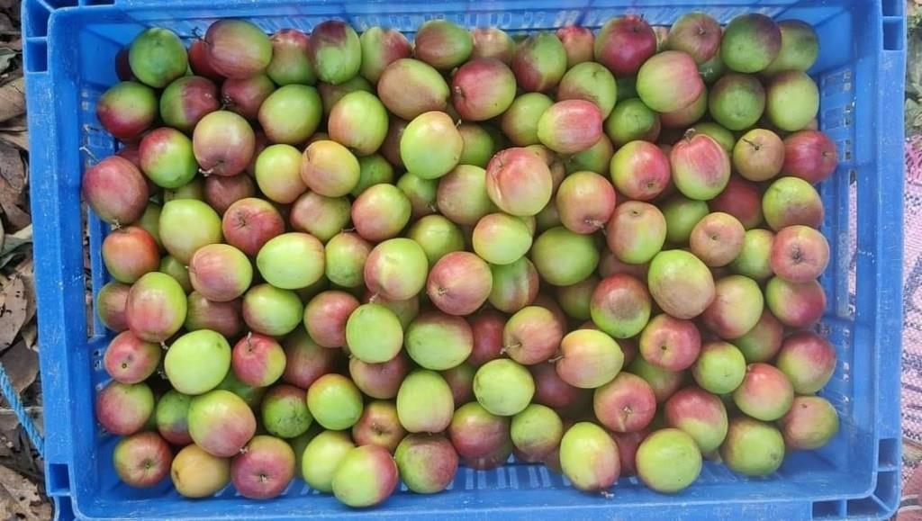 Tripura man strikes gold with 'ber apple' cultivation, CM hails 'fancy' idea