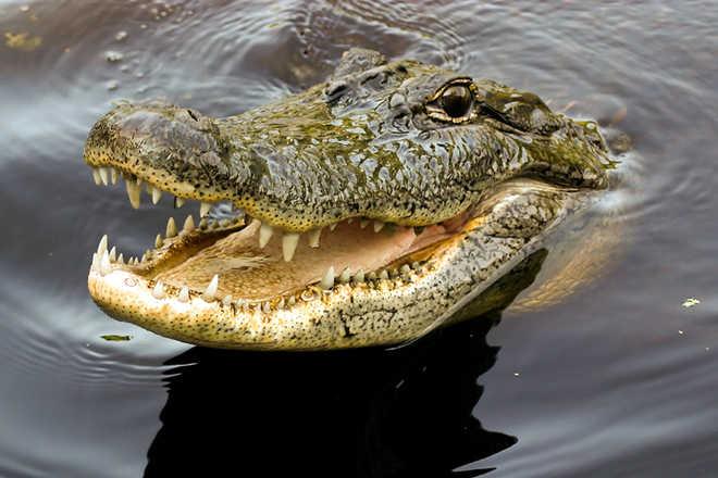 Start breeding crocodiles in rivers, says Punjab CM