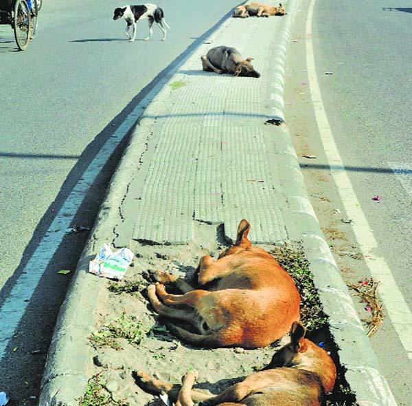 1,200 dogs sterilised since January by Patiala Municipal Corporation