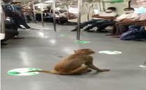 Monkey takes 'ride' in Delhi Metro train; viral video stuns people