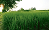 Short-duration paddy varieties can turn the tide