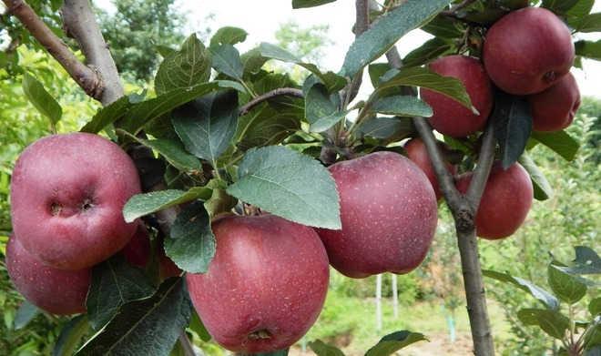 Shimla: Nod to plastic crates for marketing apple
