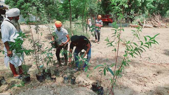 Over 150 saplings planted at Piddi