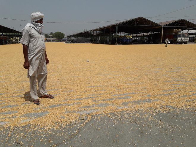 No MSP on maize in Tarn Taran