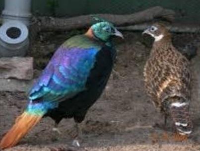 Three monals bred at Manali centre