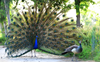 Peacock number dwindling in Panchkula mango orchard