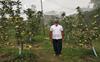 Kangra farmers grow low-chill apple varieties