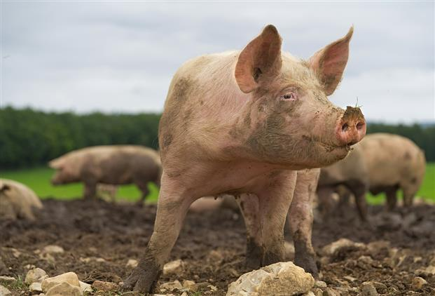 Wild pigs release the same emissions as 1 million cars each year
