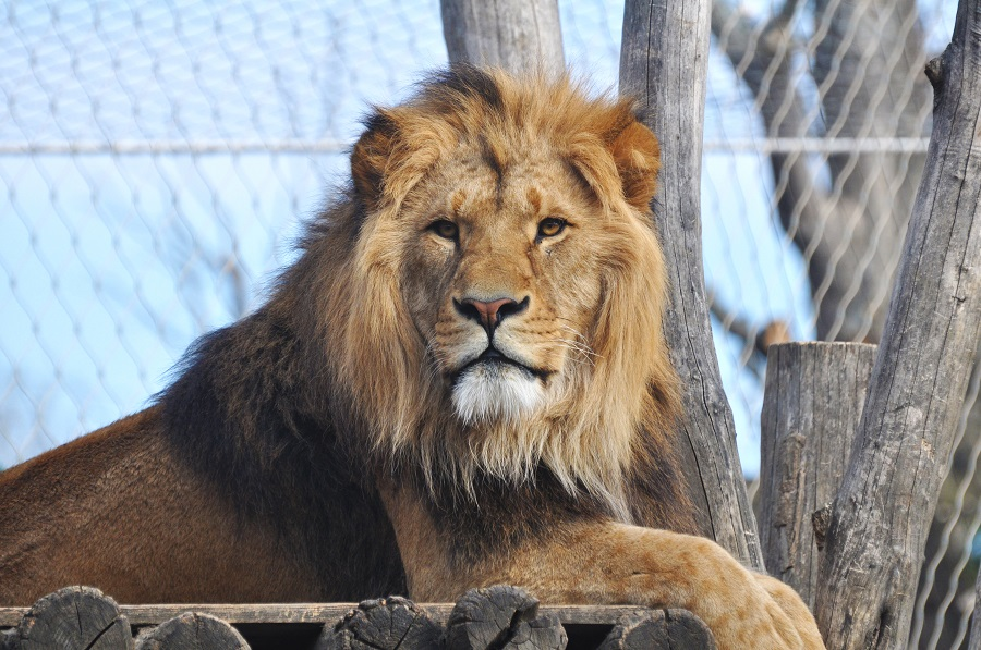 Oakland Zoo vaccinates animals against Covid