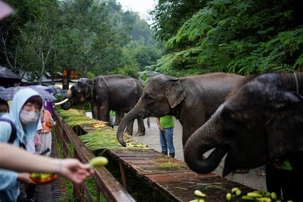 China's wild elephants seek room to roam as habitats shrink