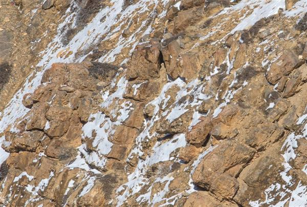 A snow leopard is hiding in this picture, Internet is zooming in and out to spot, can you?