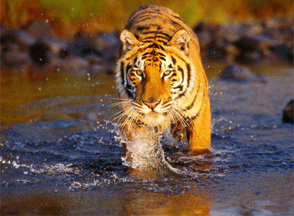 International Tiger Day: A rescued tiger cub gets 're-wilding' lessons in Kerala forest