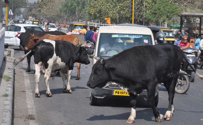 Two killed in road mishaps due to stray animals in Patiala
