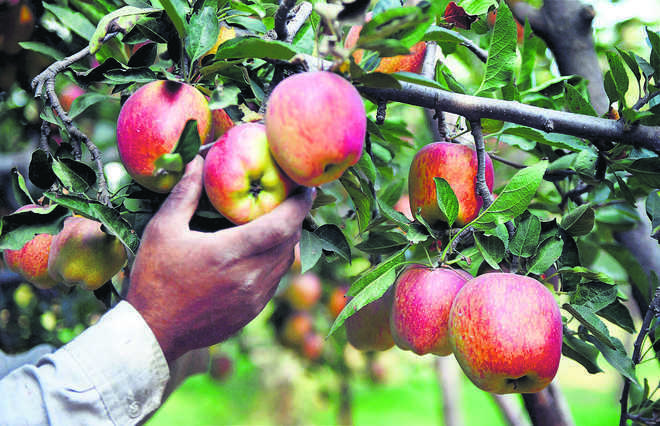 UK exports apple to India for 1st time in 50 years