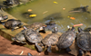 A pond where turtles thrive on devotion