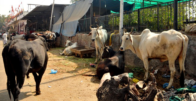Rs 5.11 cr collected as cow cess, Rs 1.01 cr spent so far, reveals Amritsar MC