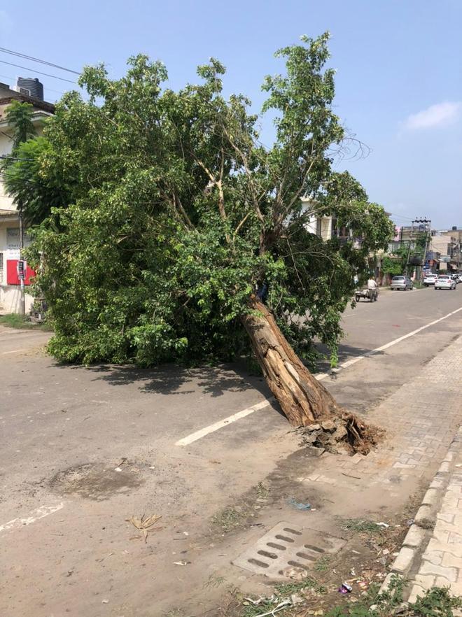 Traffic disrupted as tree falls on Dugri road in Ludhiana