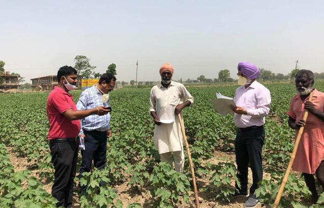 Bathinda farmers worried as pink bollworm attacks cotton crop