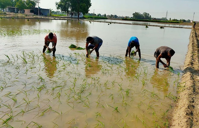 Amid power cuts in Punjab, farmers reduce area under paddy cultivation