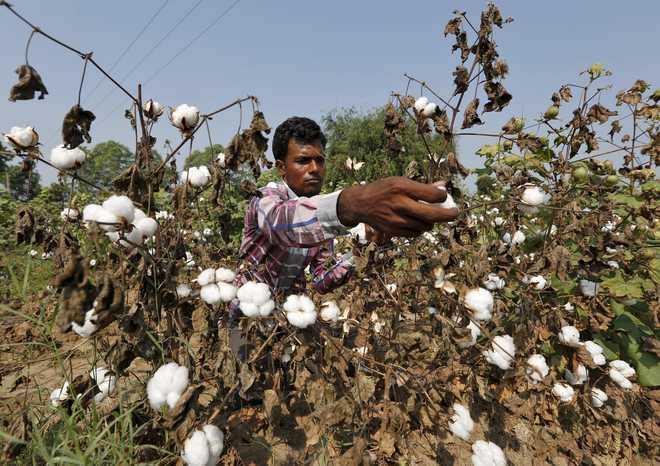 Cotton sells above MSP, Punjab farmers wary
