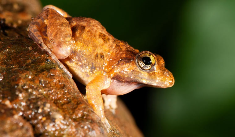 Newly discovered frog species named after renowned plant geneticist